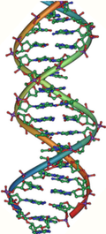 DNA_double_helix_vertikal