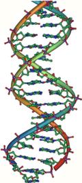 DNA_double_helix_vertikal