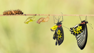 Life-cycle-of-common-birdwing-butterfly-511317834_1372x767